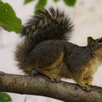 State Seeking Information On Western Gray Squirrels