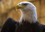 Nine Bald Eagles Spotted at First Count of the Winter Season