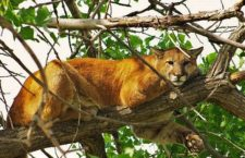 Mountain Lion Sightings Increasing In County