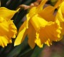 Soroptimist's To Plant Daffodil Bulbs At Two Fire Stations