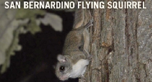 Forest Service Biologists Asking Public To Report Flying Squirrel Sightings