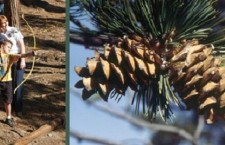 UPDATE: Ninth Annual Pine Cone Festival To Be Staged At Arrowhead Ridge