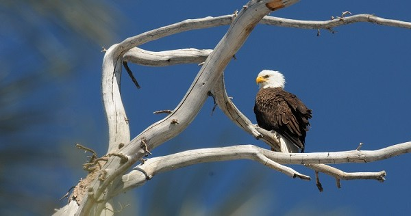 UPDATE: 14 Bald Eagles Observed During Census