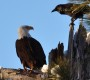 Bald Eagle Census Looking For February 13 Volunteers: No Experience Required