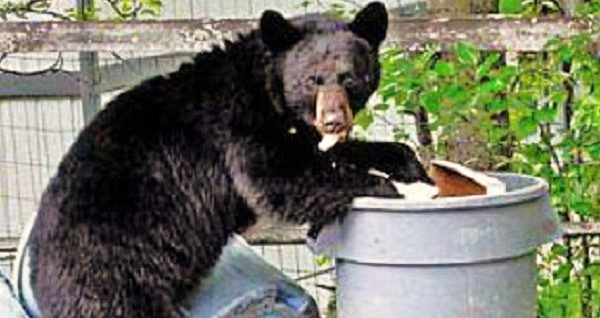 Bear Scavenging In Angelus Oaks Threatens Bears And Public Safety