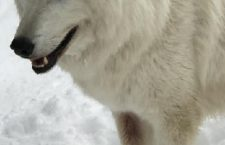 Big Bear Alpine Zoo Celebrates Wolf Awareness Week October 15-21